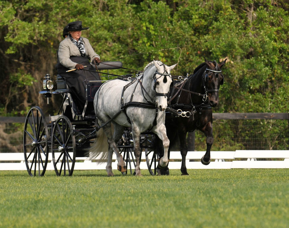 Pat driving a carriage competition with her Dales ponies.