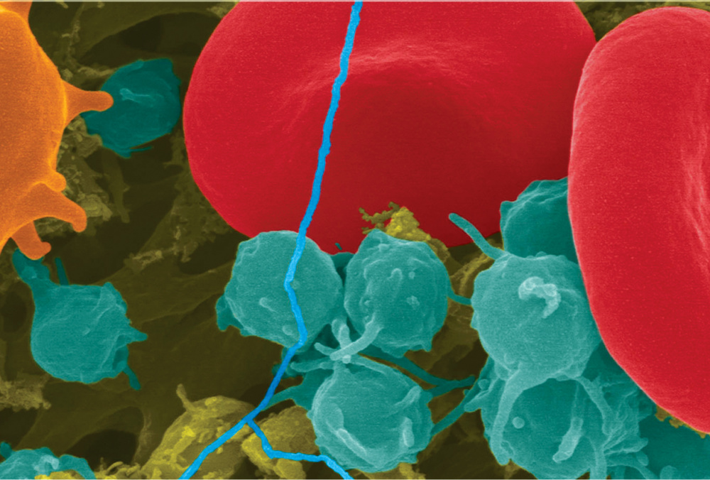 blood cell, platelets