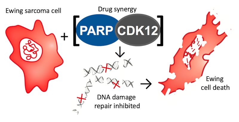 How PARP and CDK12 inhibition lead to deficient DNA damage repair and cell death in Ewing sarcoma cells.